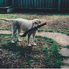 Murphy Agnes Martin R.I.P. : Murphy Agnes Martin, yellow Labrador Retriever - April 4, 1997 to June 9, 2012. She will always be missed.